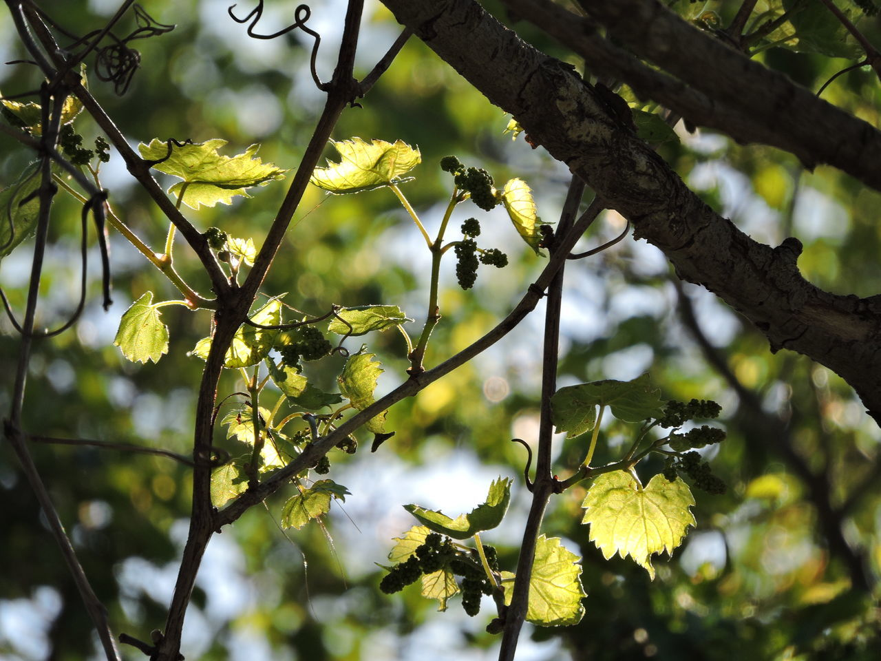 Beauty In Nature Branch Close-up Day Flower Fragility Freshness Growth Leaf Low Angle View Nature No People Outdoors Sky Sunlit Tree Wild Grape Vine Yellow