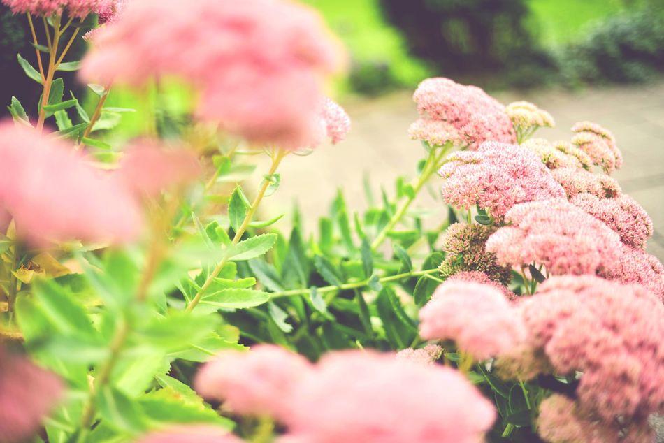 Open Edit Blossom FetteHenne :) Green Garden Dark Pink By Motorola Spring Into Spring Nature On Your Doorstep Germany