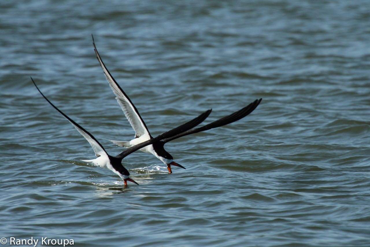Two skimmers Skimmers Birds Bird Photography Birds In Flight Bird Shorebirds Water Ocean Nature Photography Nature Bayside Seaside Sea Life Birds Wildlife Flying Birds Photography In Motion