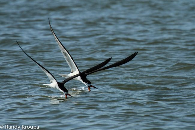 Two skimmers Skimmers Birds Bird Photography Birds In Flight Bird Shorebirds Water Ocean Nature Photography Nature Bayside Seaside Sea Life Birds Wildlife Flying Birds Photography In Motion