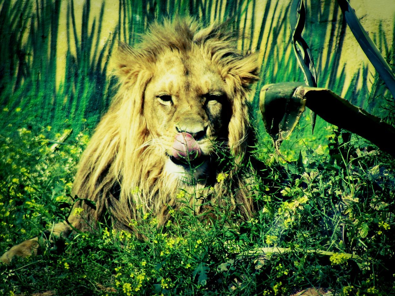 Lion Resting Amidst Plants On Field