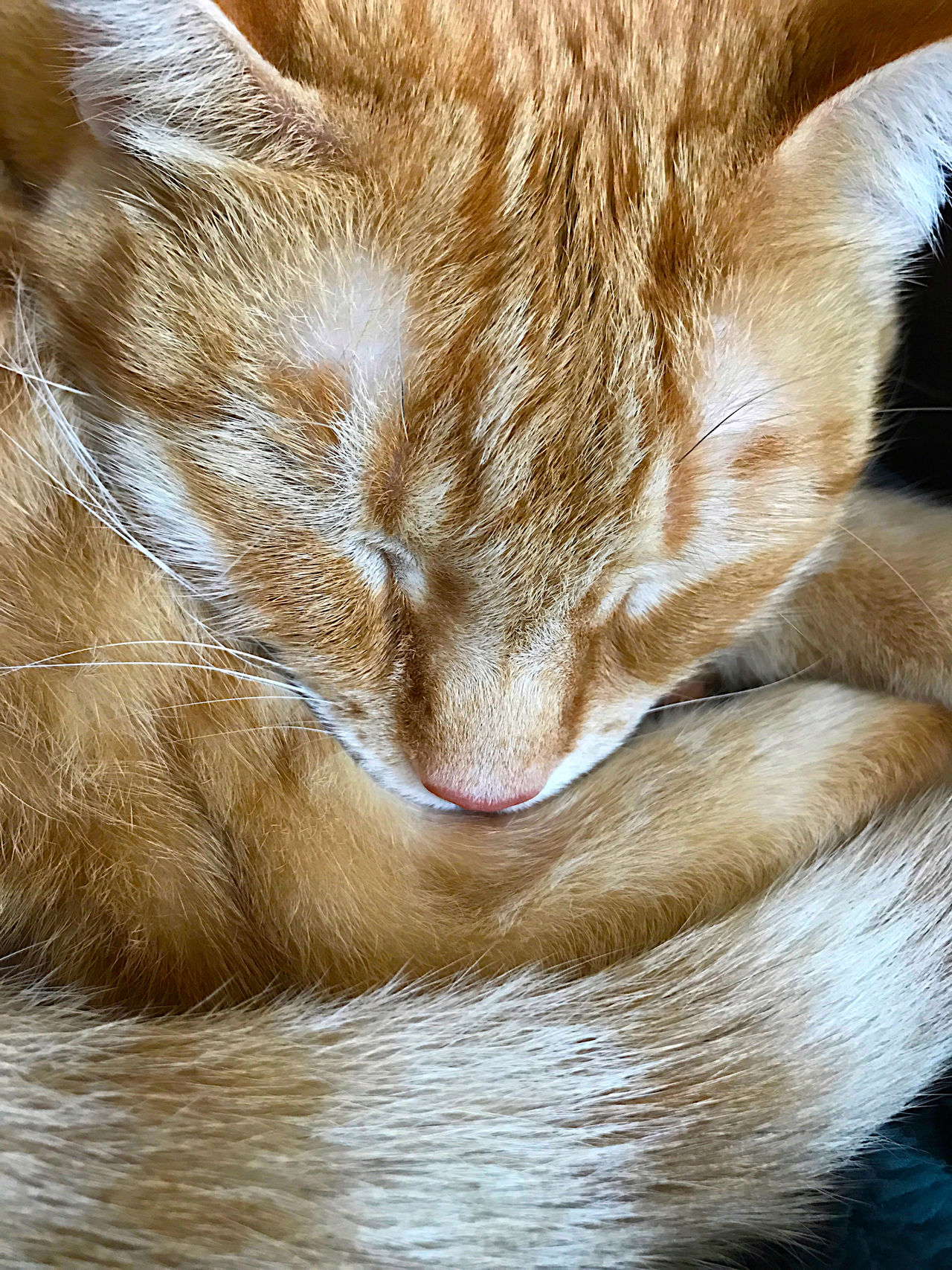 At Home Calm Cat Cat Tail Close-up Comfortable Cozy Curled Up Furry Mammal Napping Napping Cat Natural Light No People One Animal Pet Pet Portrait Phone Camera Sleeping Cat Soft