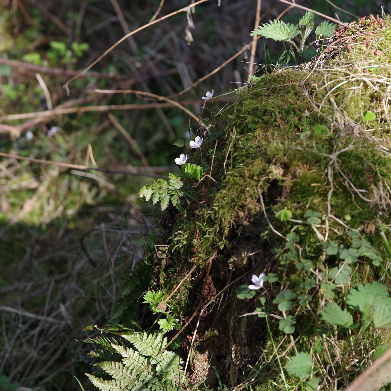 In the woods around Grotenburg - Anemone nemorosa Beauty In Nature Close-up Day Flowers Focus On Foreground Forest Growth Moss Nature No People Outdoors Spring Springtime Tranquility Tree Tree Trunk