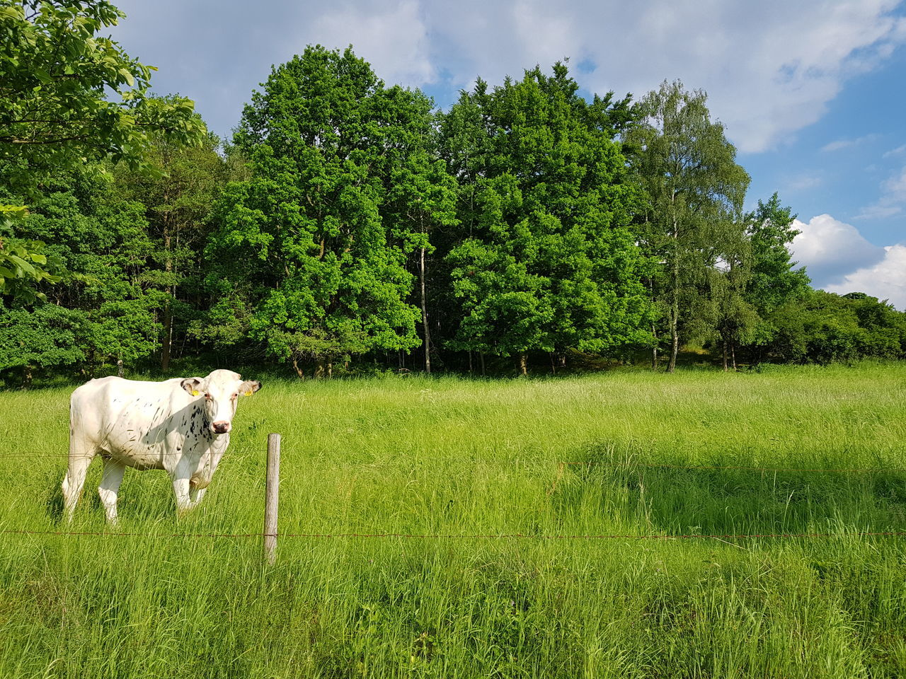 tree, field, green color, grass, nature, growth, sky, cow, no people, landscape, outdoors, domestic animals, green, mammal, day, cattle, tranquility, beauty in nature, livestock, animal themes, one animal, agriculture, rural scene, farm animal