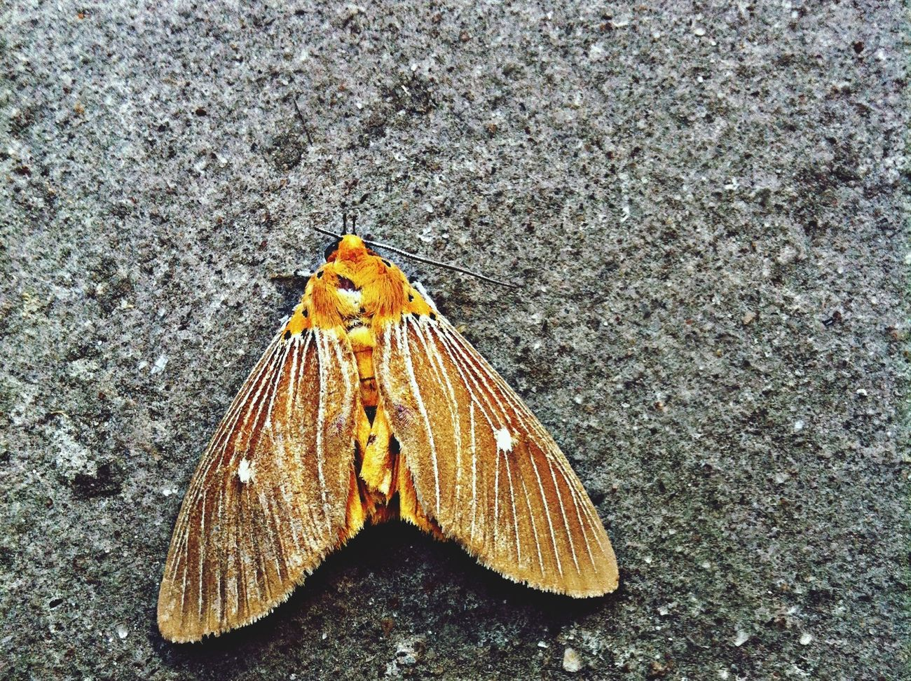 Found this moth already dead, but still a beauty. :(