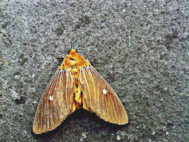Found this moth already dead, but still a beauty. :(