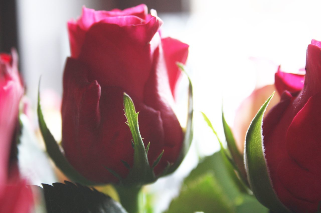 Beauty In Nature Close-up Flower Flower Head Flowers Fragility Freshness Growth Love Love ♥ Nature Outdoors Petal Plant Rose - Flower Roses Roses Are Red Roses Flowers  Roses, Flowers, Nature, Garden, Bouquet, Love, Roses🌹 Rose♥ Rose🌹 Sunlight Valentine Valentine's Day