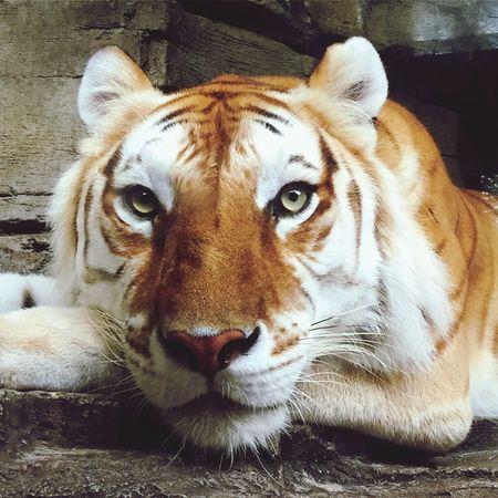 First Eyeem Photo Eye Of The Tiger Tiger Face Tiger-love Tiger Eyes