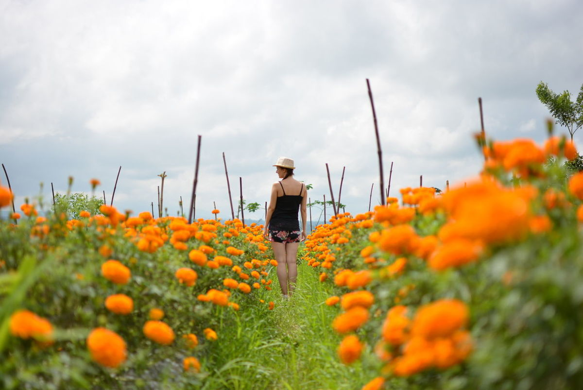 bloom Flower Plant Nature Growth Rural Scene Agriculture Beauty In Nature Women One Woman Only Backgrounds Outdoors Sky Mountain View Beauty Tradition Marigold Flower Marigoldflower Marigold In Full Bloom. Marigold Field