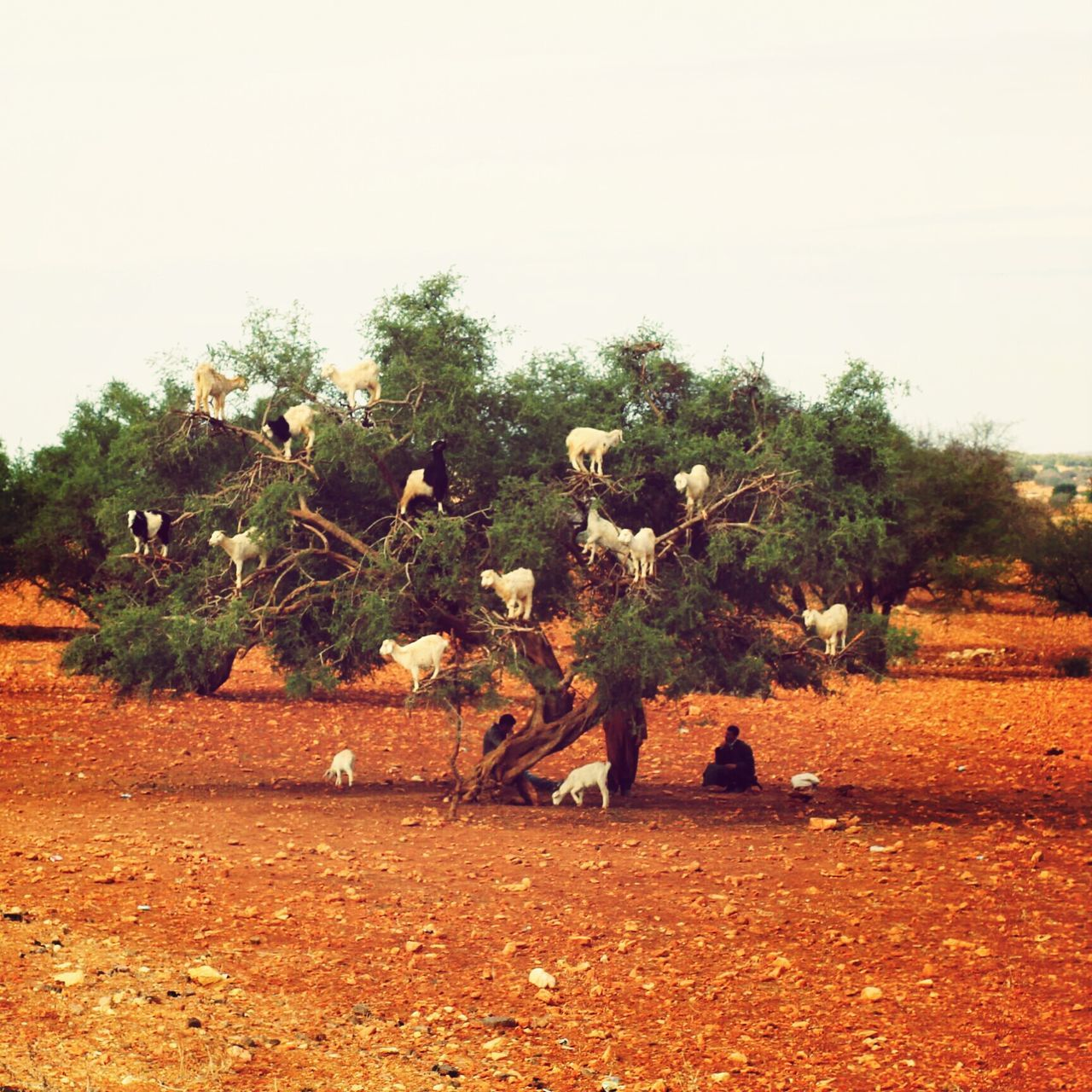 Traveling Morocco Holidays Check This Out ArganOil Argan Argan Du Moroc Maroc TreePorn Service Animals