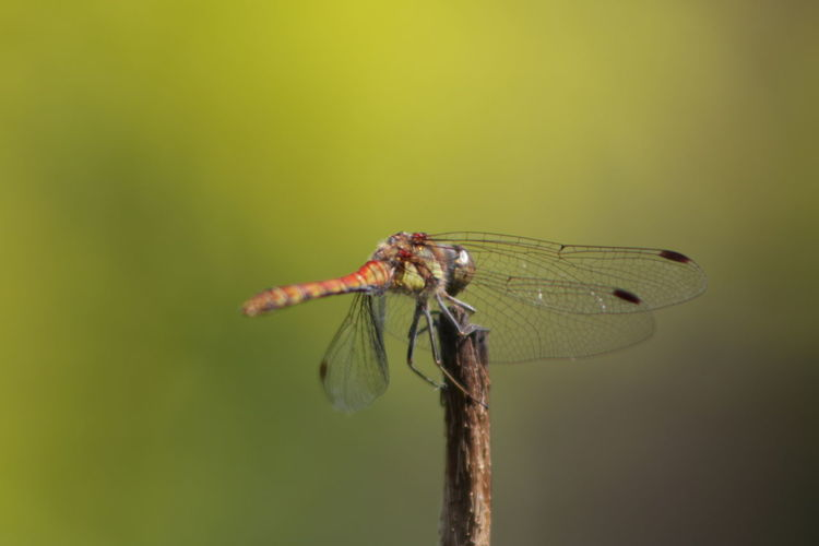 Animal Wildlife Animals In The Wild Macro Focus On Foreground Animal Themes No People Close-up Pure Photography Outdoors Canon EOS 70D No Edit/no Filter No Filter, No Edit, Just Photography Just Me And My Camera Eos70d Canon 70d Shooting Again Canon_photos Canonphotography Breathing Space Investing In Quality Of Life Macro Photography Macro_collection Macro Nature Green Dragonfly_of_the_day EyeEmNewHere The Week On EyeEm Paint The Town Yellow