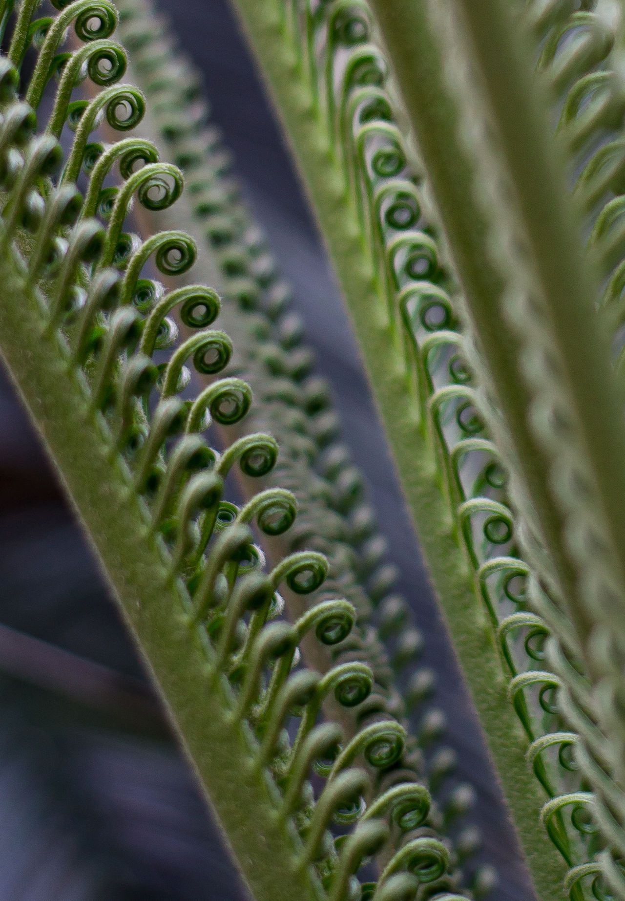 Beauty In Nature Calming China Close-up Depth Of Field Fern Fern Leaf Unfurling Flower Green Color Happy No People Perspective Selective Focus Symmetrical Zhuhai