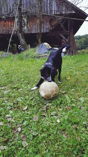 Our Dog Growing Up Just Playing Around with an old Soccer Ball Pets Wont Give It Back Having Fun Slovenia Slovenija