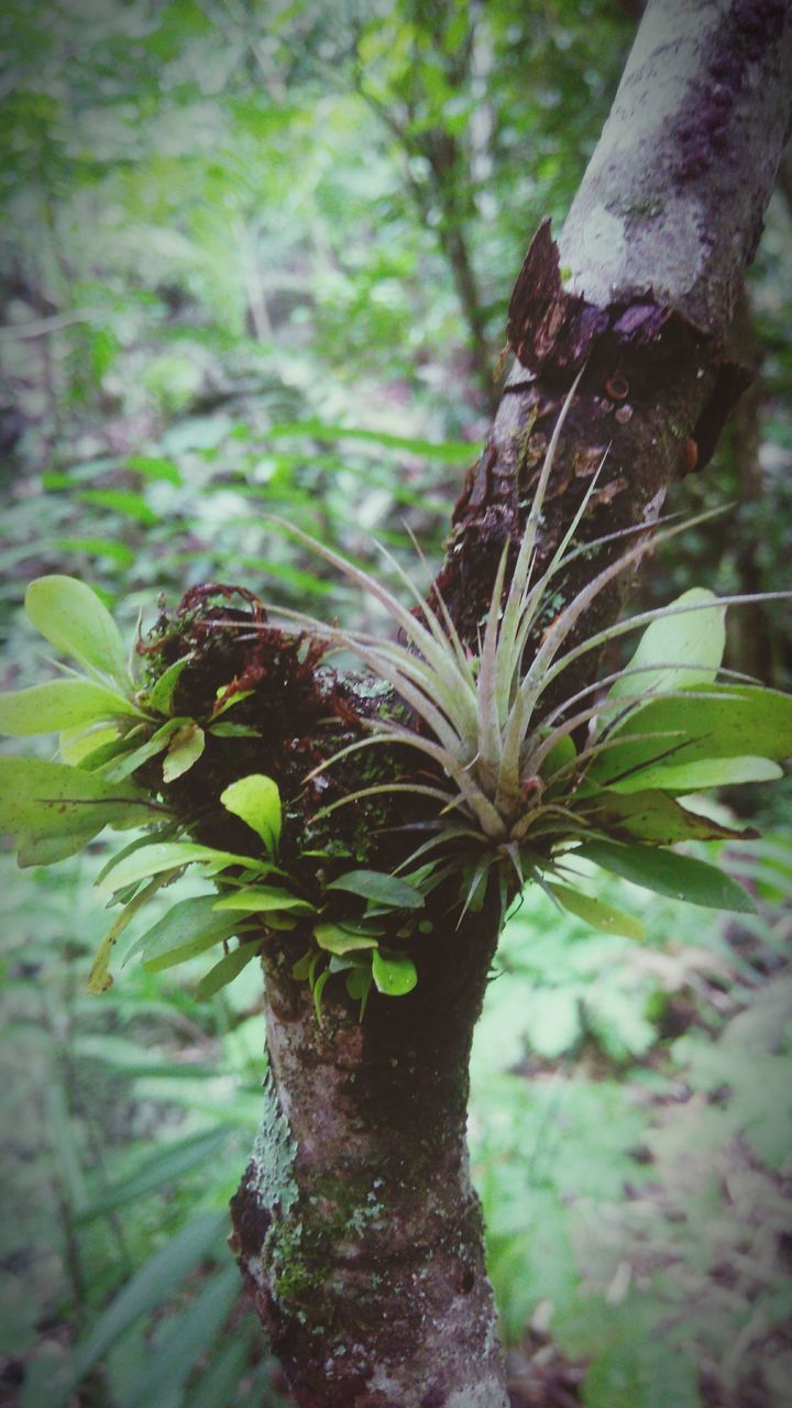 tree, growth, tree trunk, focus on foreground, nature, green color, plant, no people, day, outdoors, close-up, forest