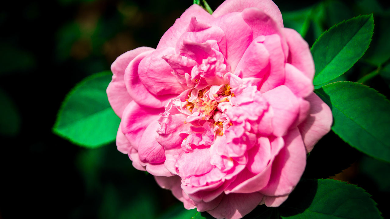 flower, petal, pink color, fragility, nature, beauty in nature, flower head, growth, wild rose, rose - flower, plant, focus on foreground, outdoors, close-up, freshness, blooming, day, no people