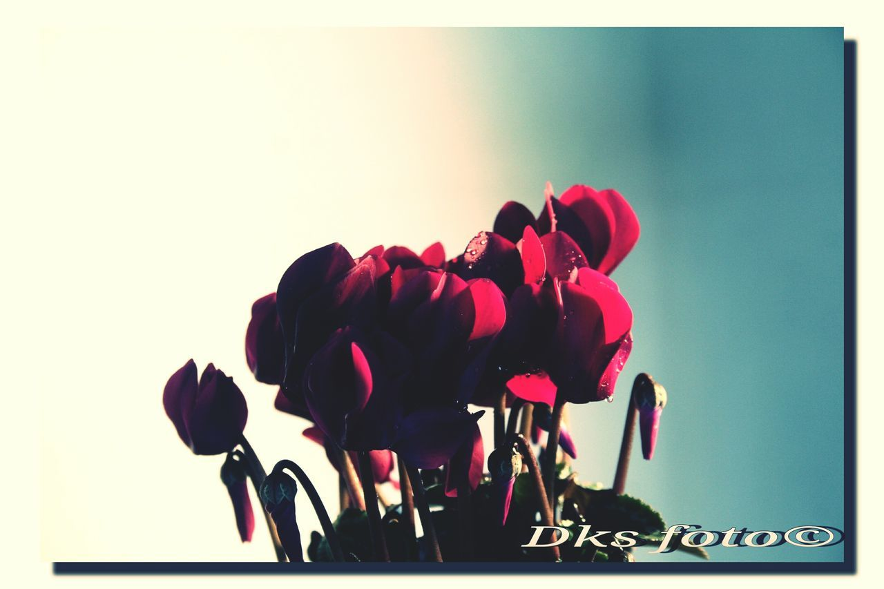 flower, rose - flower, beauty in nature, petal, vase, nature, fragility, freshness, flower head, tulip, pink color, no people, growth, studio shot, plant, indoors, close-up, bouquet, white background, day, sky