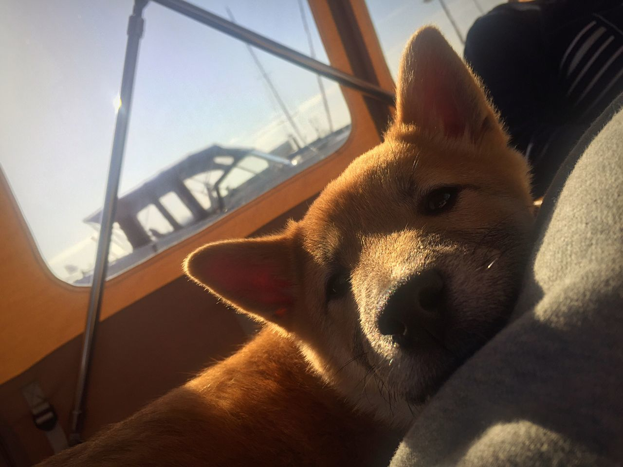 Simba in the sun on a boat. Sun Boat Jacht Shibainu Simba Lionking The City Light EyeEmNewHere Dog