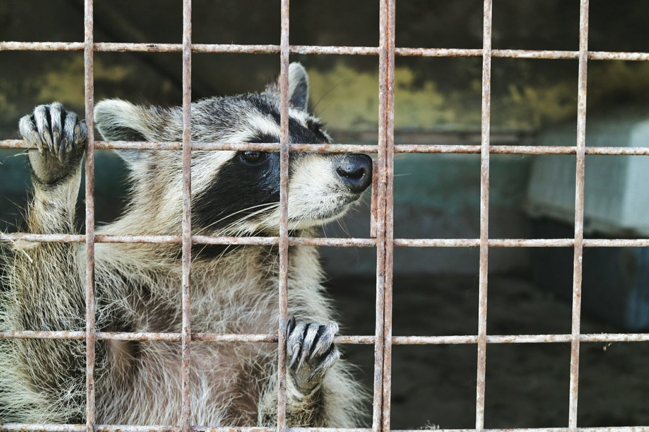 Beautiful stock photos of raccoon, Alertness, Animal Head, Animal Themes, Cage