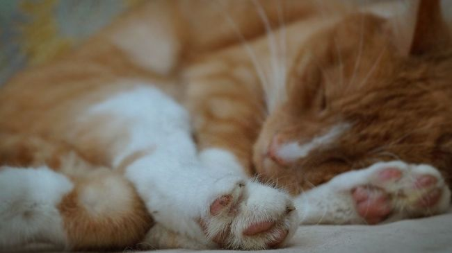 Sleeping Cat Focus On Foreground Ginger Cat Paw Paws Cat Paw Sleeping Asleep One Animal No People Ginger Domestic Cat Peaceful Tranquil Quiet Quiet Moments Calm Tired Selective Focus Sleeping Animal Curled Up Cat Cat Stretch Cat Pose Quiet Time Feet