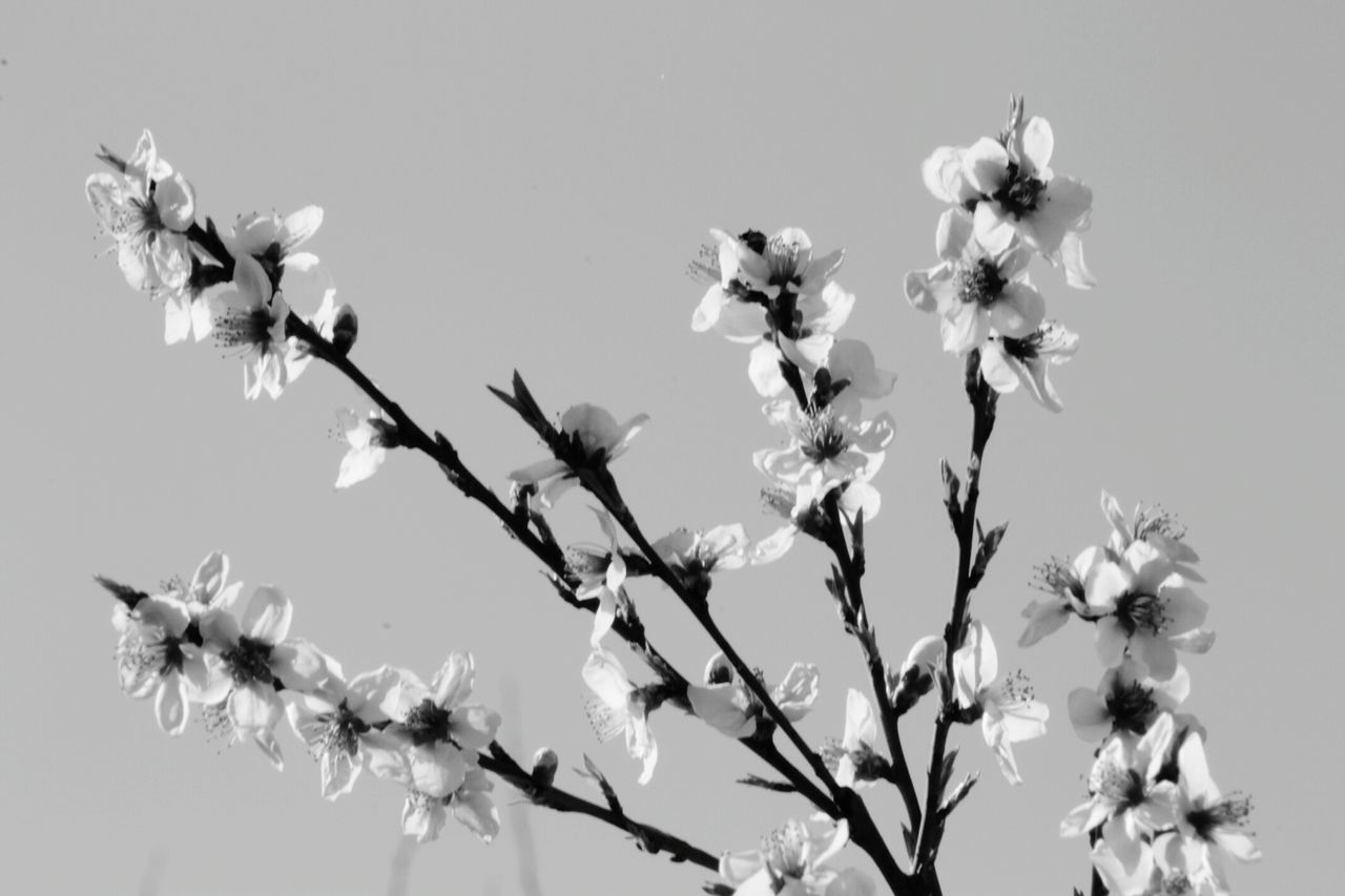 flower, growth, nature, fragility, beauty in nature, freshness, petal, no people, blossom, branch, day, blooming, outdoors, springtime, flower head, clear sky, tree, close-up, sky