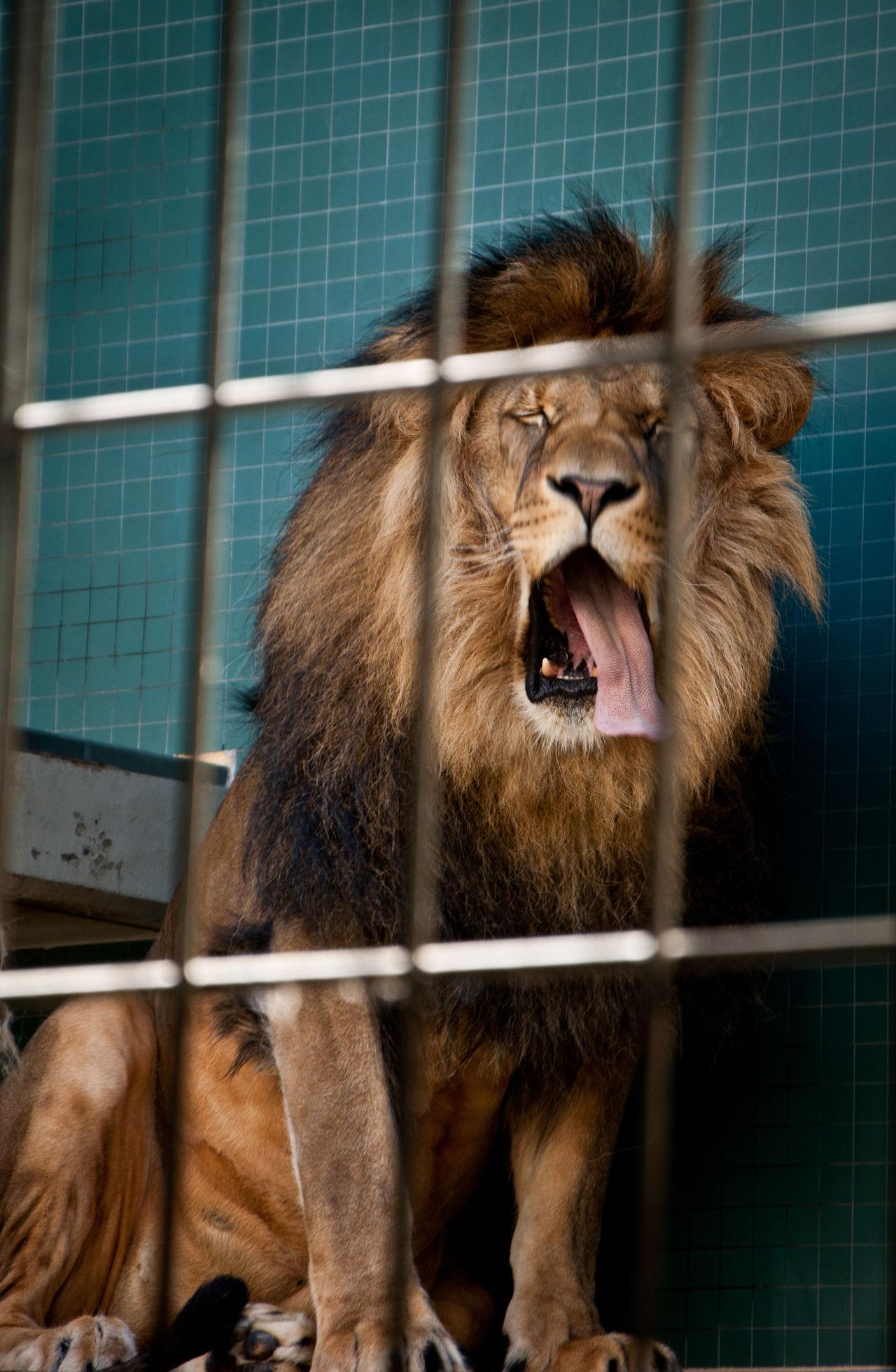 Beautiful stock photos of lion, Animal, Big Cat, Cage, Calm