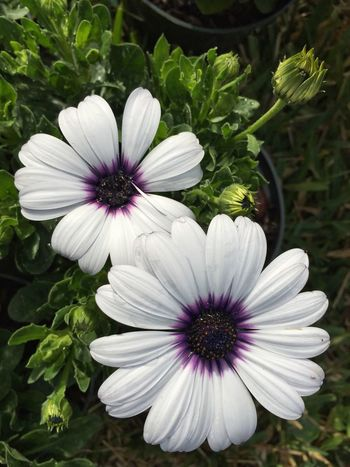 2 African daisies Daisies Daisy Daisy Flower Daisys African Daisy White And Purple Showcase March Nature's Diversities Colour Of Life