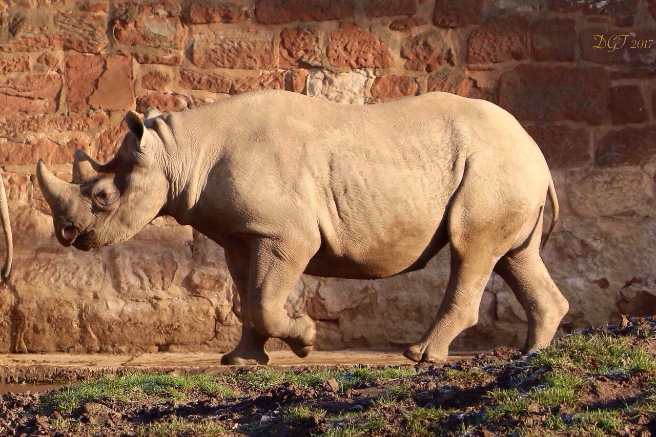 animal themes, animals in the wild, one animal, mammal, day, no people, standing, side view, outdoors, animal wildlife, full length, rhinoceros, nature