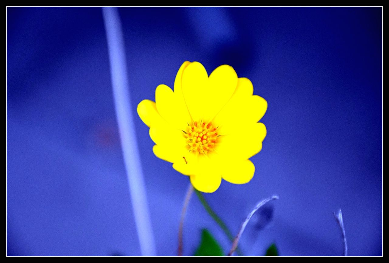 Close-Up Of Yellow Flower Blooming Against Blue Sky