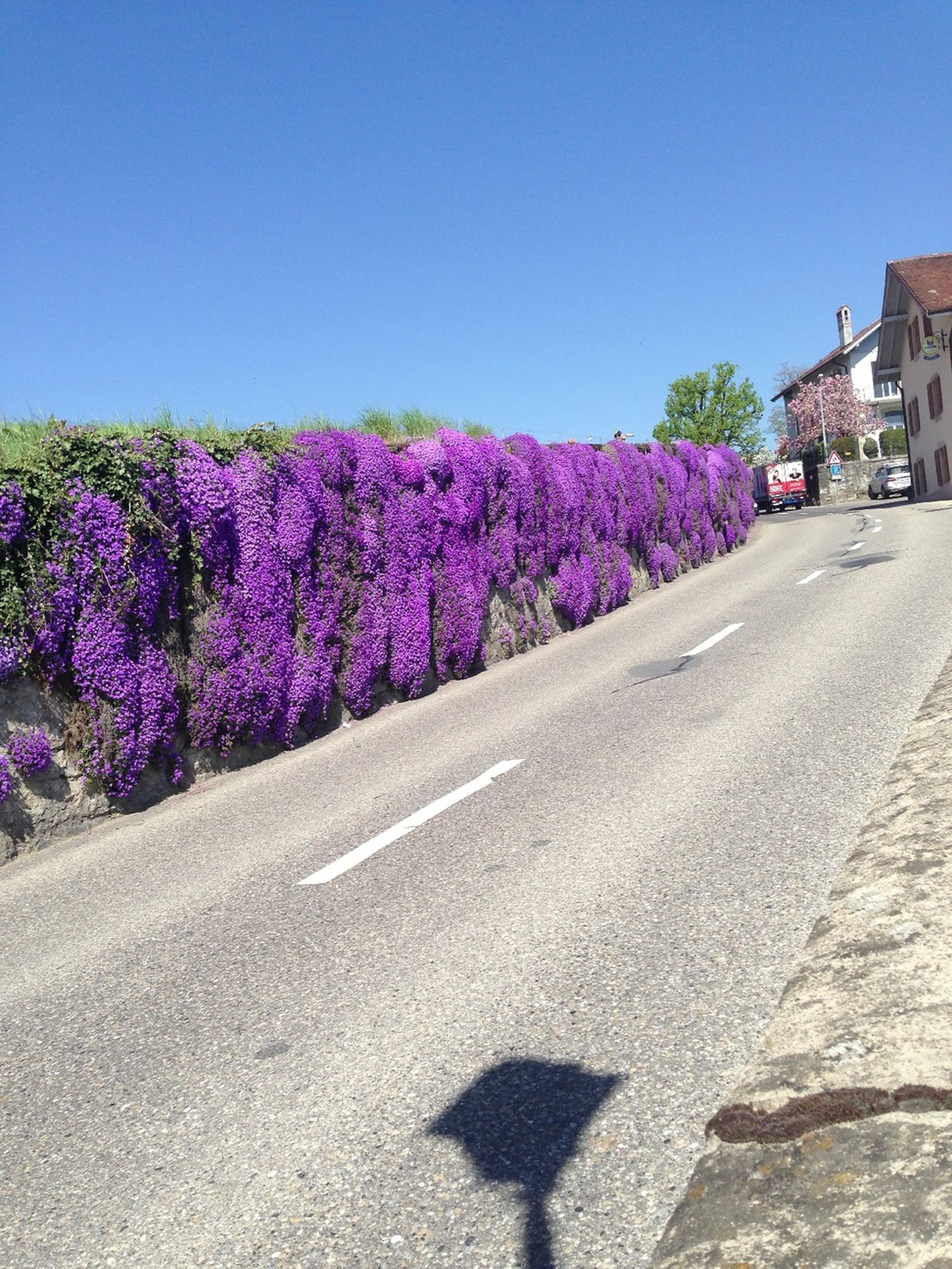 clear sky, flower, blue, road, building exterior, built structure, street, architecture, copy space, transportation, road marking, purple, growth, outdoors, sunlight, day, no people, asphalt, tree, plant