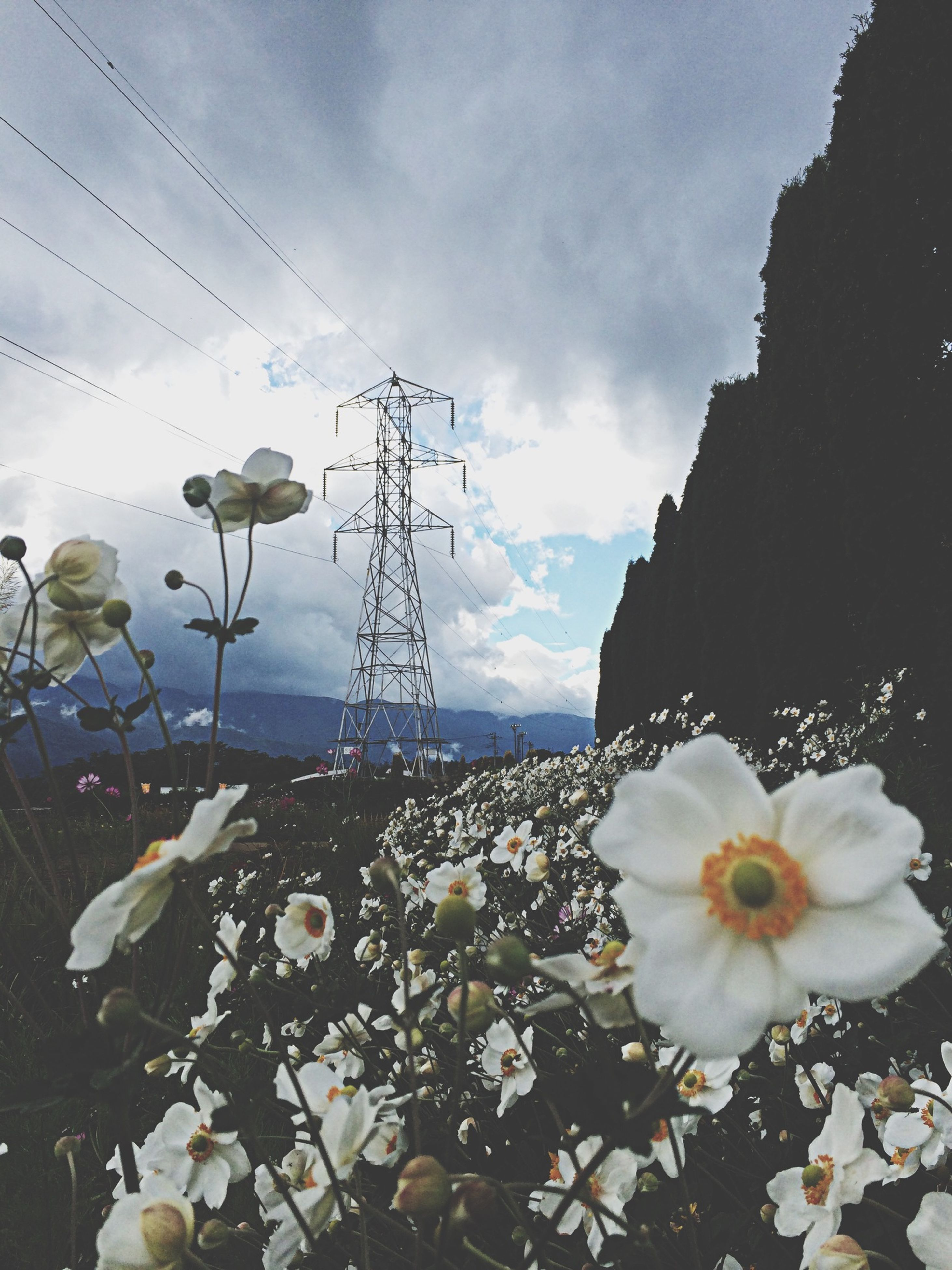 flower, sky, fragility, cloud - sky, petal, plant, nature, beauty in nature, flower head, growth, blooming, water, cloudy, freshness, day, cloud, outdoors, no people, stem, close-up