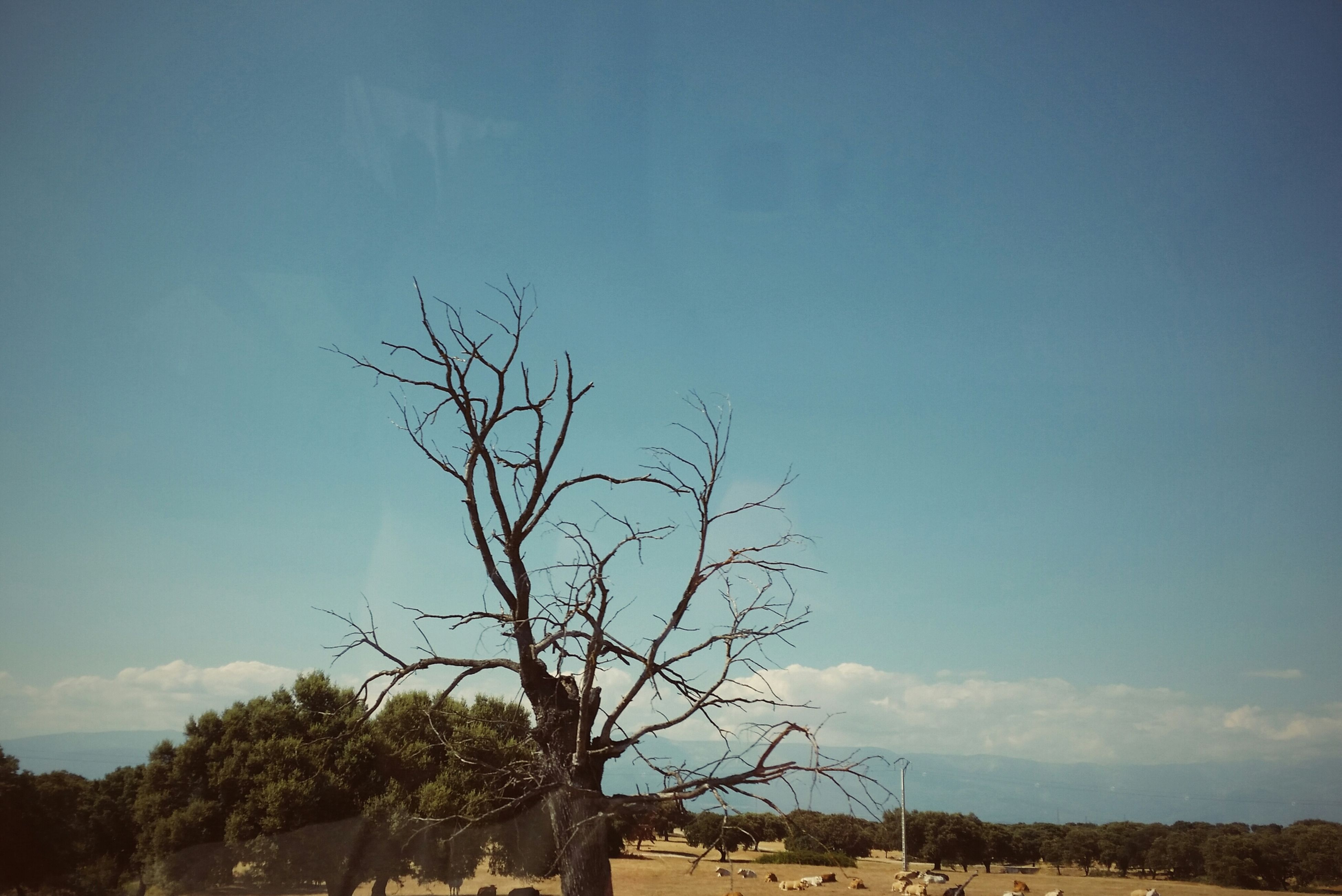 sky, tree, bare tree, tranquility, tranquil scene, nature, blue, landscape, branch, scenics, beauty in nature, low angle view, field, clear sky, non-urban scene, day, no people, cloud, outdoors, remote