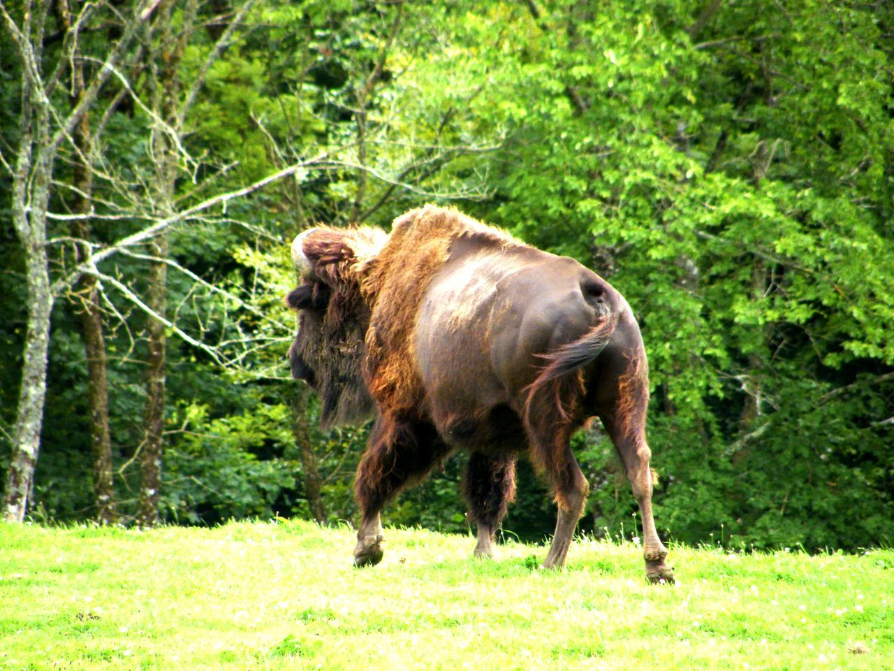 Animal Themes Beauty In Nature Bison Day Domestic Animals European Bison Field Grass Green Color Growth Livestock Mammal Nature No People One Animal Outdoors Wisent