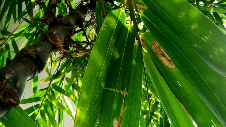 Bamboo Grove Green Color Low Angle View Leaf Nature Growth Branch Beauty In Nature Day Backgrounds Outdoors Patterns Everywhere Colourmehappy Patterns In Nature Colours Of Life Pattern Photography Colours Of Nature Beauty In Nature Green Light And Shadow Colouryourworld Patterns & Textures Miles Away Directly Above Tropicalcolors