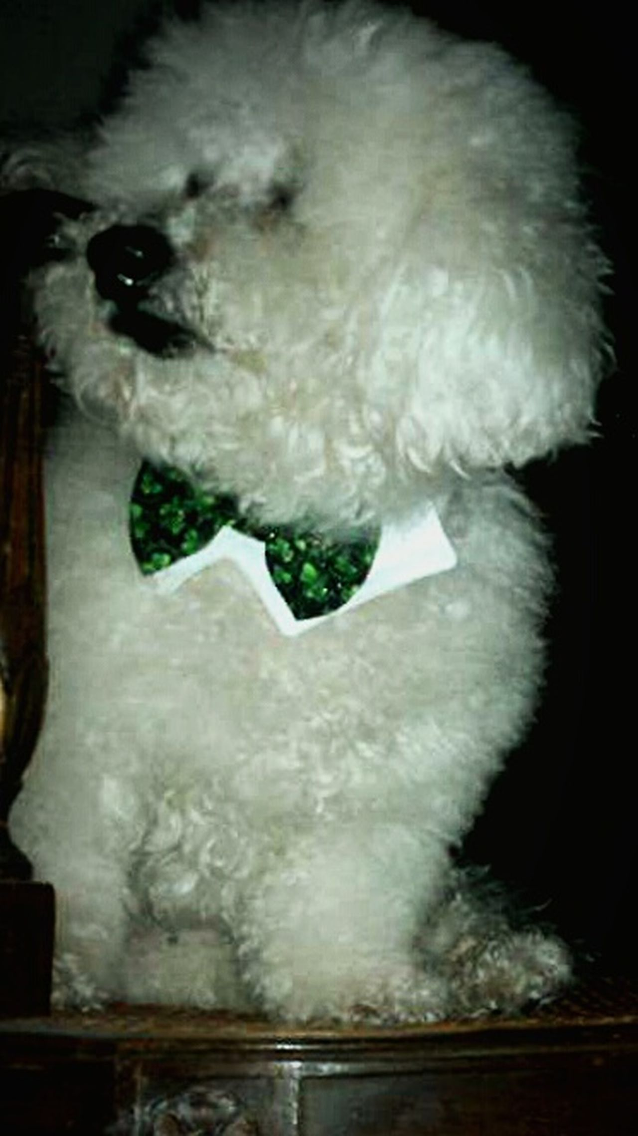 Bichon St. Patrick's Day Dog Love Bow Tie Green Tie American Life interior Photography eyeem Sir Henley, Prince Of Everything Eyeem Photography EyeEm Gallery Animal Photography Irwin Collection