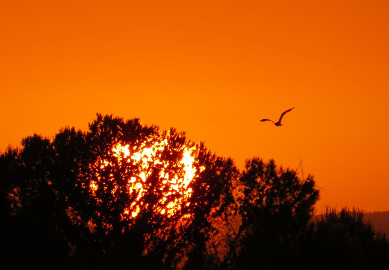 Flying Bird Sunset One Animal Tree Silhouette Animal Themes Beauty In Nature Sky Sunset✨trees✨ Sunsets Tranquil Scene Sunlight Idyllic Sunset_captures Sunsetlovers Sunset Collection Tranquility Orange Color Tree Beauty In Nature Branch Nature Silhouette EyeEm Sunset
