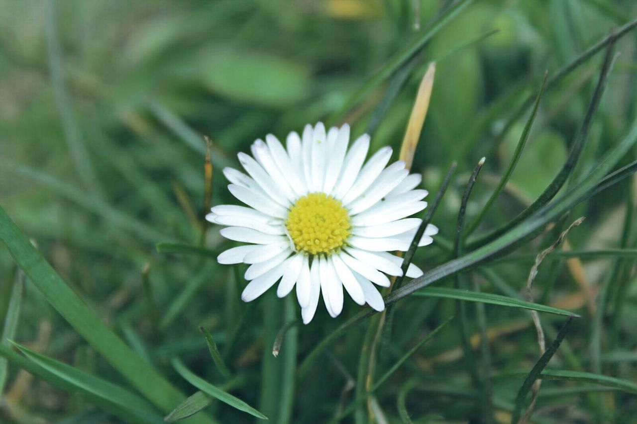 Flower Nature Petal Flower Head White Color Plant Beauty In Nature Fragility Close-up Uncultivated Outdoors Growth Freshness Day Closing Rural Scene Springtime Multi Colored Living Organism Daisy Daisy Close Up The Great Outdoors - 2017 EyeEm Awards Live For The Story