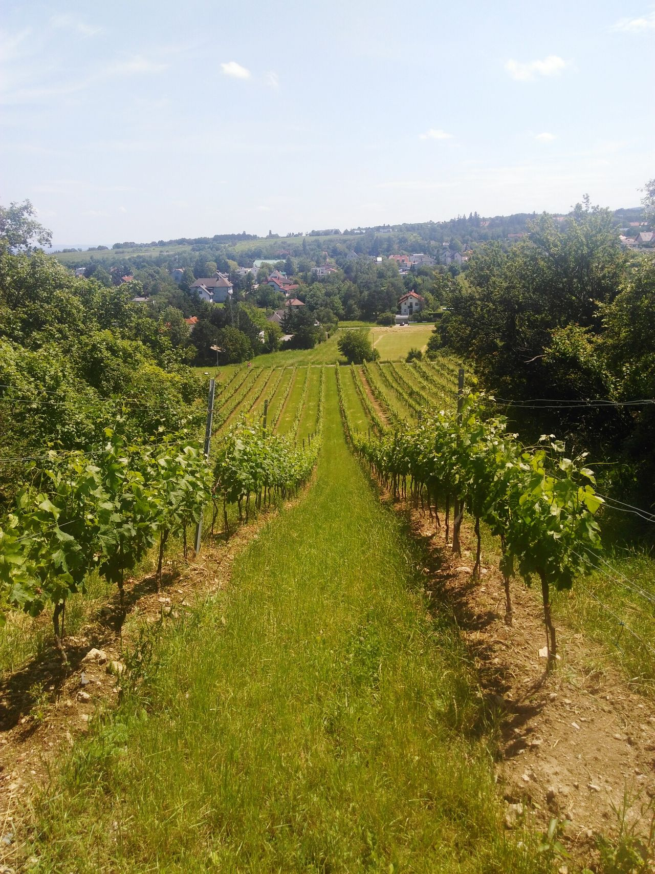 Agriculture Field Vineyard Growth Winemaking Wein Wine Grape Landscape Fruit Austria Perchtoldsdorf
