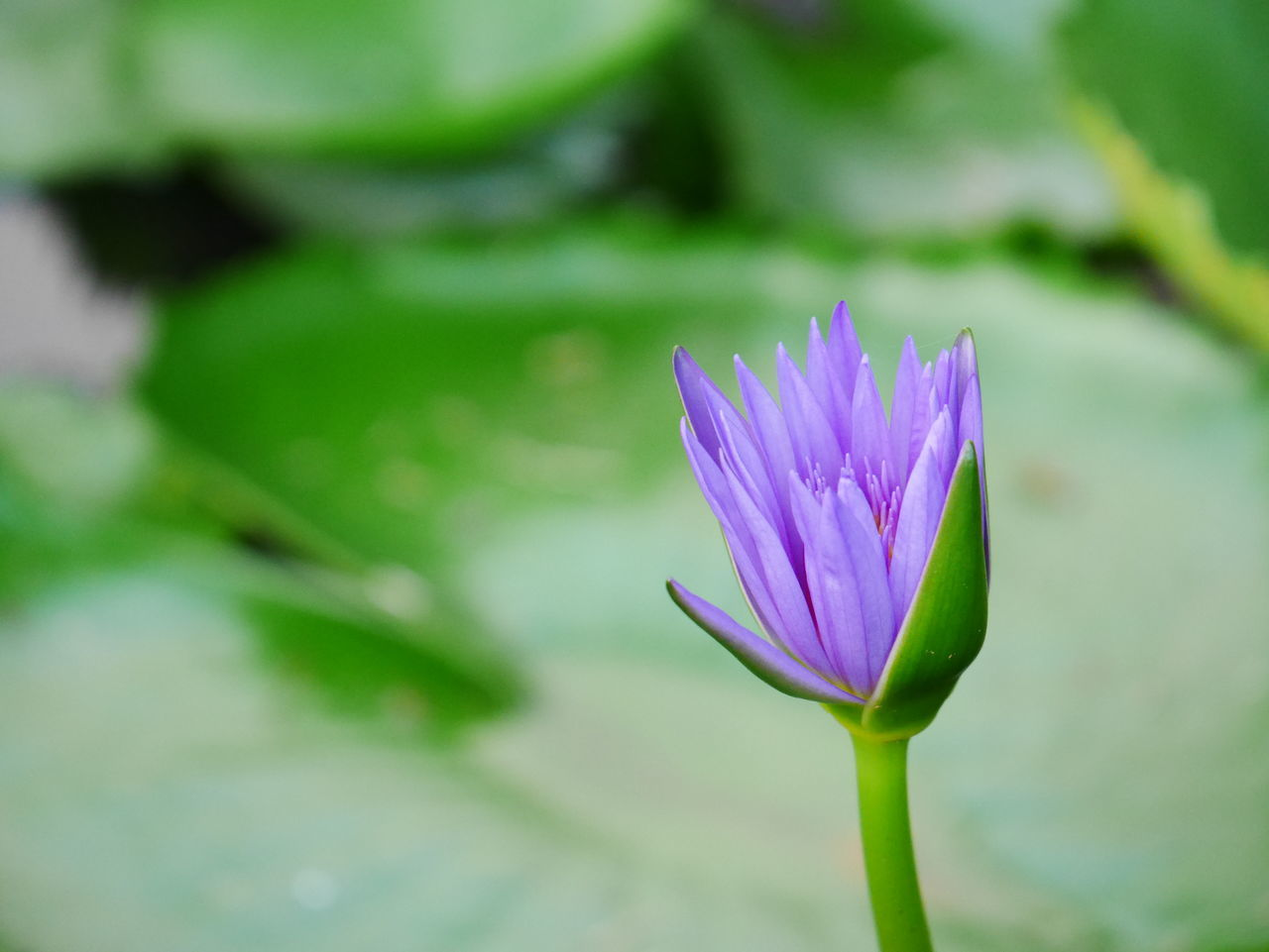 Beauty In Nature Begin To Bloom Lotus Close-up Flower Flower Head Freshness Lotus Nature Plant Purple Purple Flower Purple Lotus
