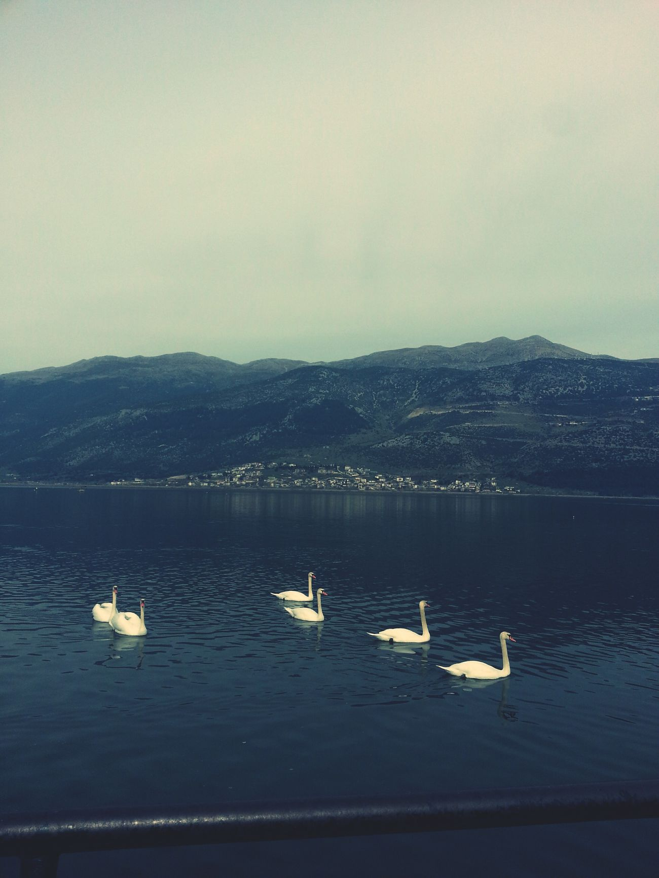 Photooftheday VSCO Vscocam Igers Igersgreece Relaxing Time Lakeview Swans Peaceful Evening Evening Sky Naturebeauty Nature_collection Landscape_collection EyeEmNatureLover Ioannina