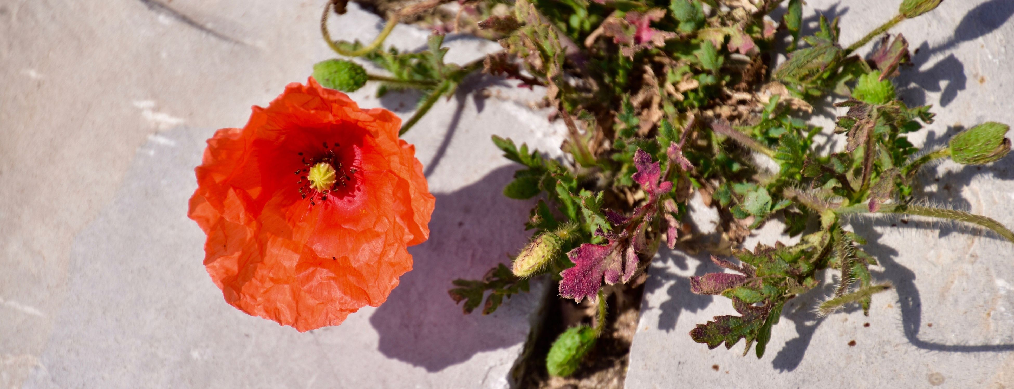 Flower Fragility Petal Nature Poppy Plant Flower Head Growth Beauty In Nature Outdoors Day No People Freshness Leaf Red Springtime Close-up Hibiscus Mohnblume Sagres, Algarve