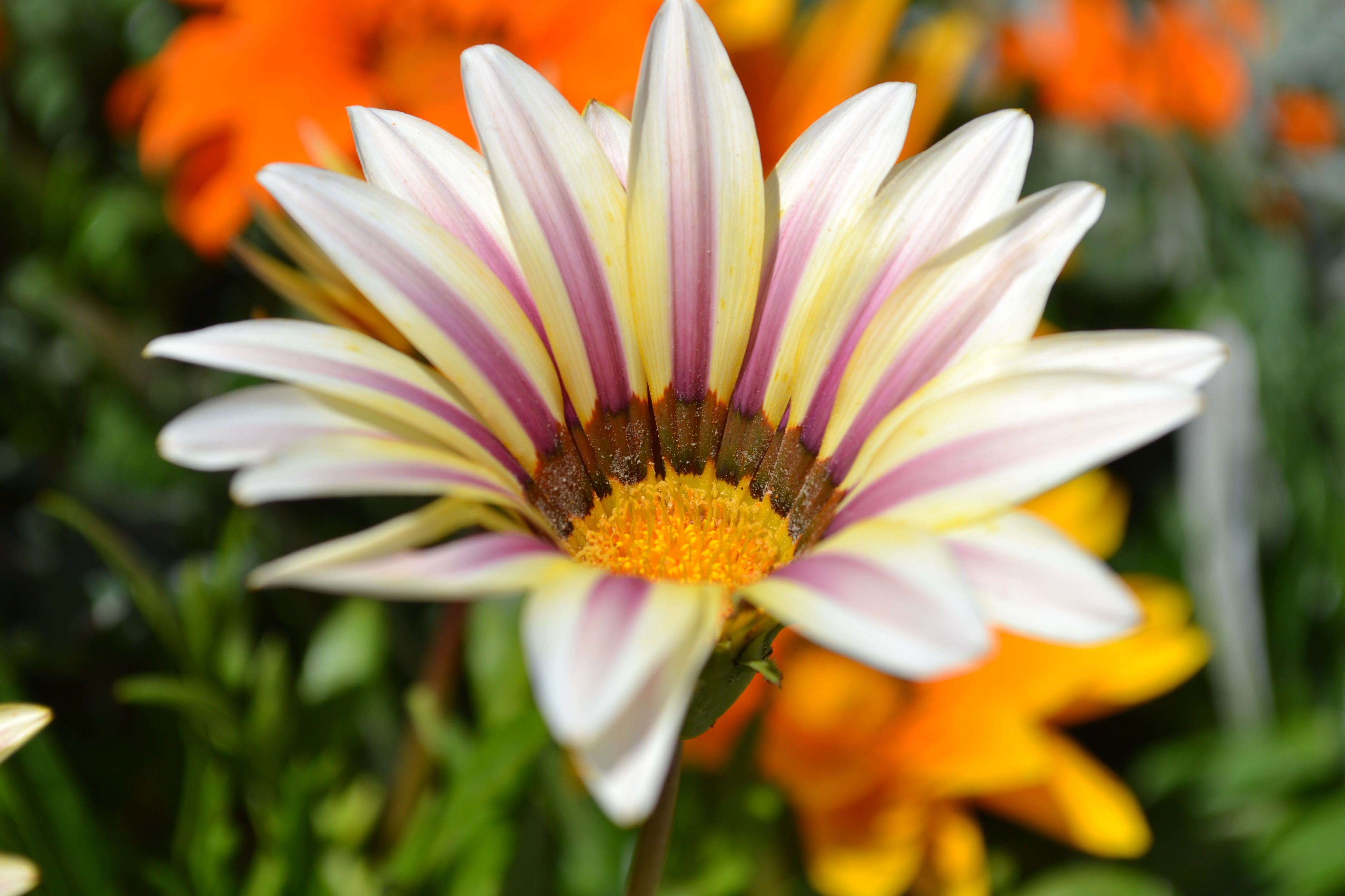 flower, petal, freshness, flower head, fragility, growth, blooming, beauty in nature, pollen, close-up, focus on foreground, yellow, nature, single flower, in bloom, plant, daisy, selective focus, blossom, day