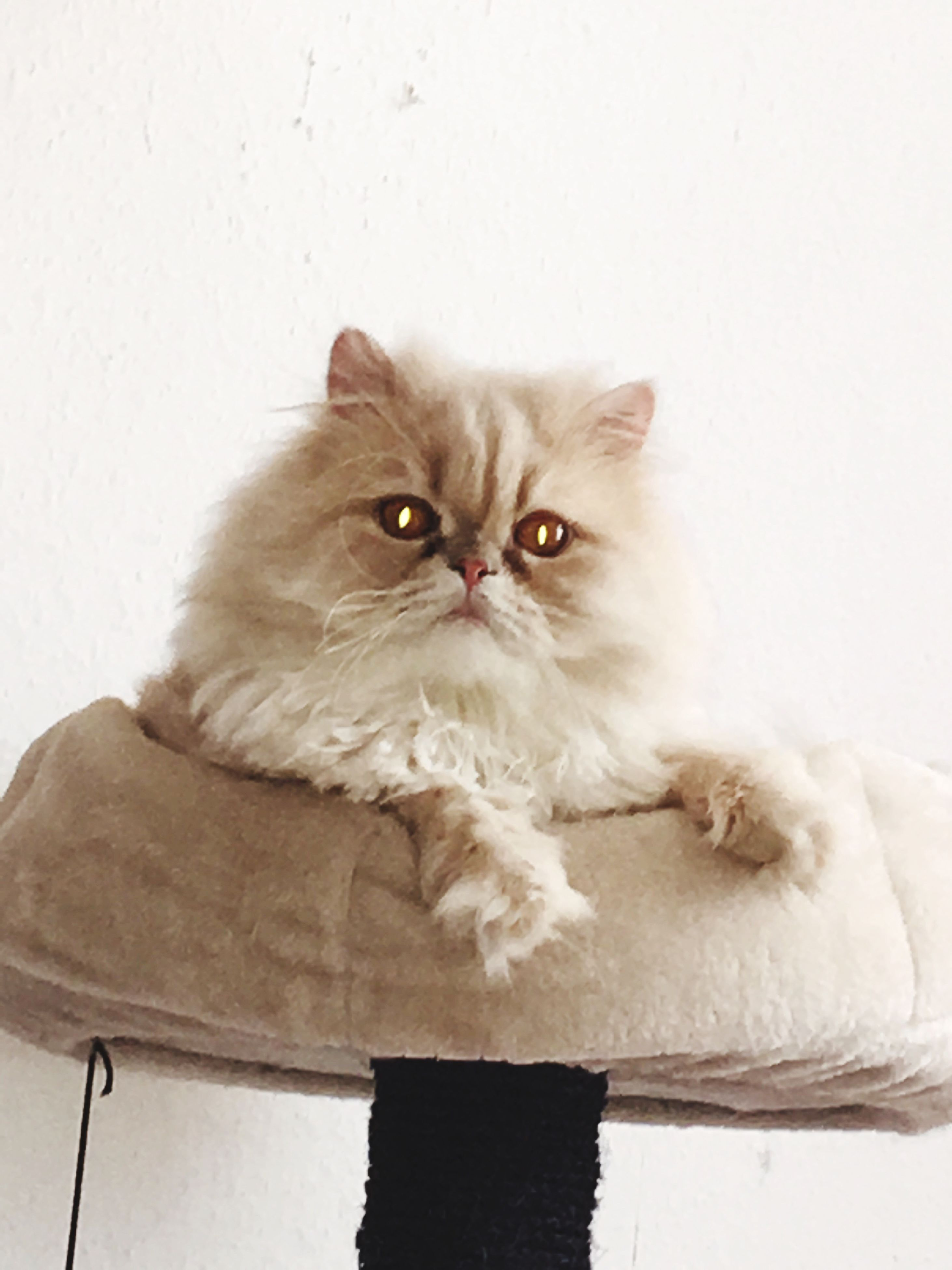 domestic cat, pets, feline, domestic animals, looking at camera, indoors, persian cat, mammal, animal themes, portrait, whisker, white background, one animal, no people, close-up, day