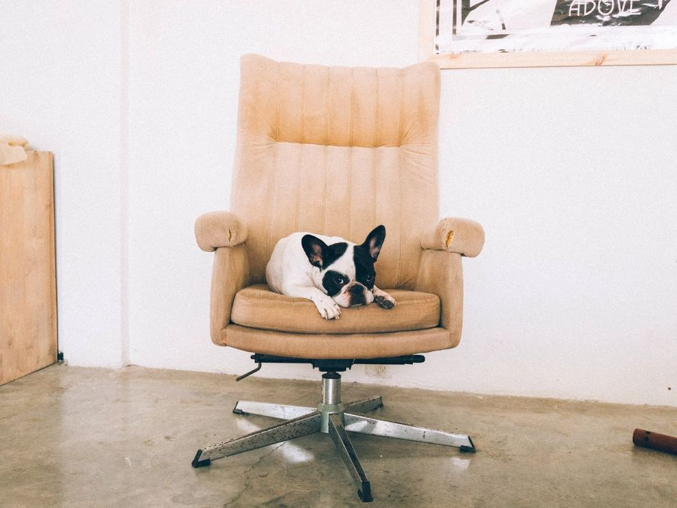 Beautiful stock photos of french bulldog, Animal Themes, Architecture, Built Structure, Chair