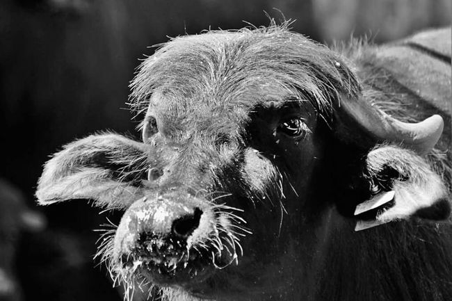 Monochrome Photography animal themes Outdoors Zoology Littlecowboys Dettagli MozzarellaDiBufalaCampana Napoli ❤