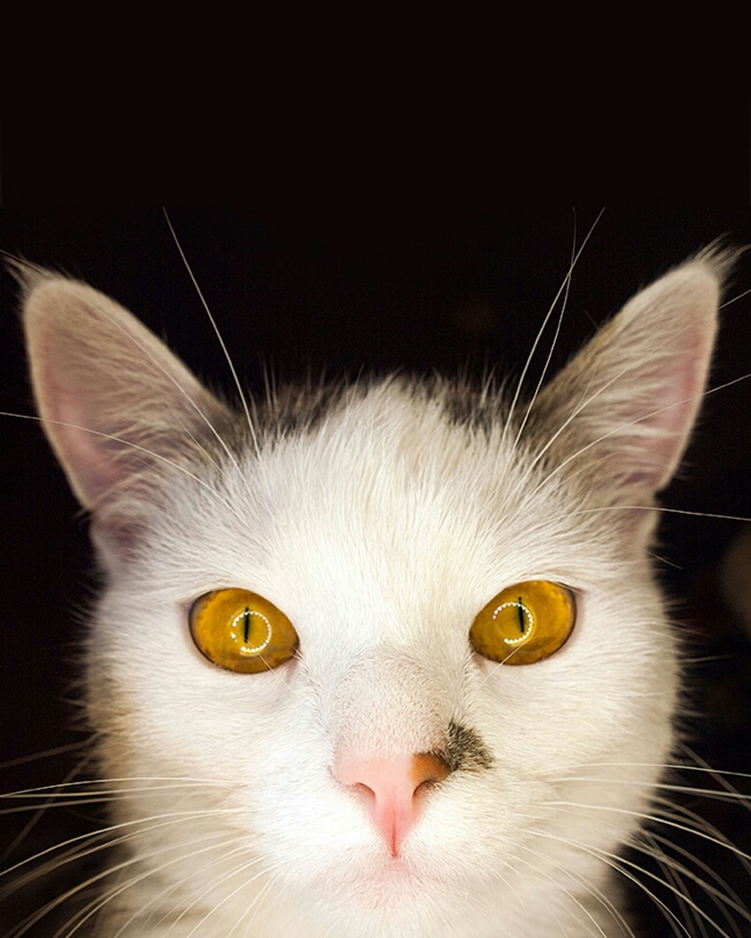 domestic cat, cat, animal themes, one animal, feline, pets, whisker, domestic animals, close-up, looking at camera, animal eye, portrait, animal head, mammal, indoors, staring, alertness, focus on foreground, animal body part, whiskers