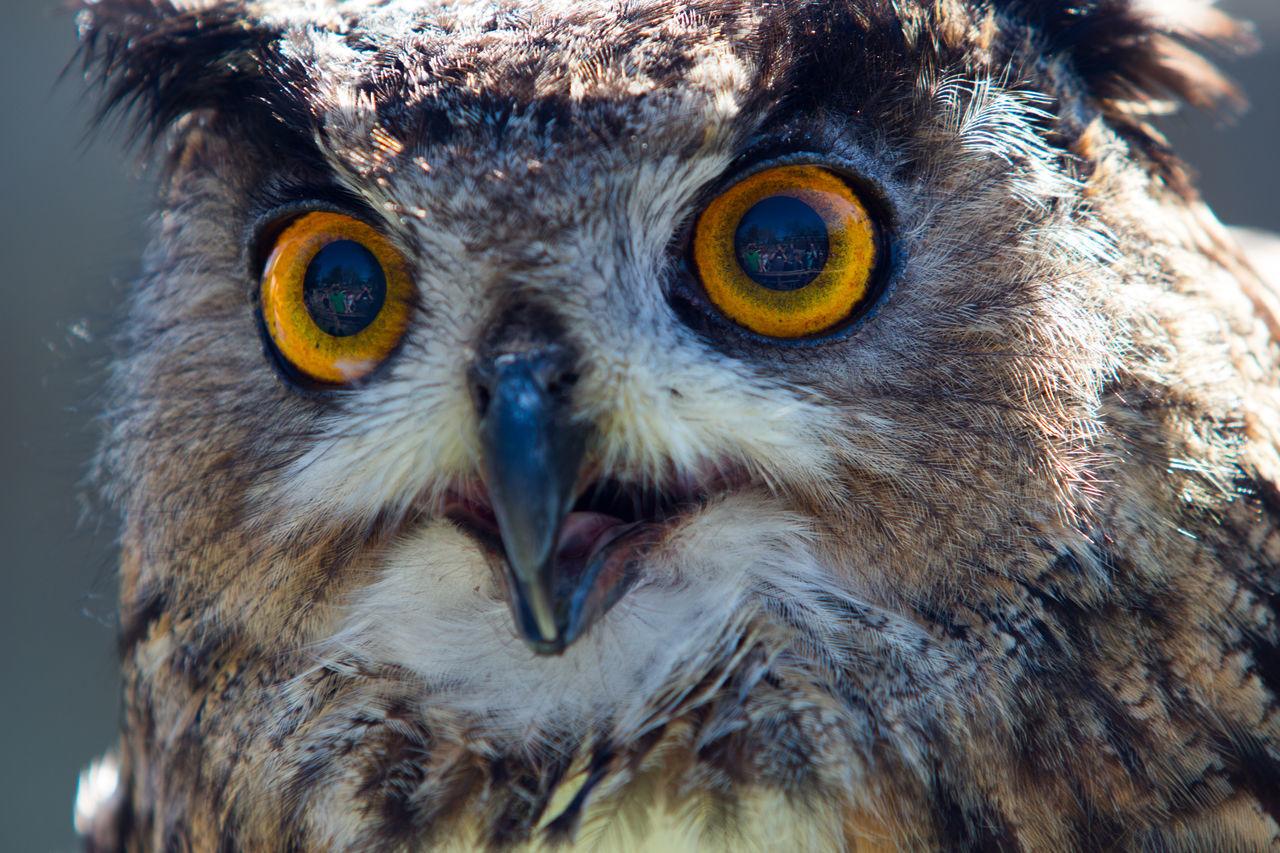 Eurasian Eagle Owl Animal Themes Animal Wildlife Animals In The Wild Bald Eagle Beak Bird Bird Of Prey Close-up Day Eagle - Bird Eagle Owl  Eurasian Eagle Owl  Looking At Camera No People One Animal Outdoors Owl Portrait Yellow Eyes