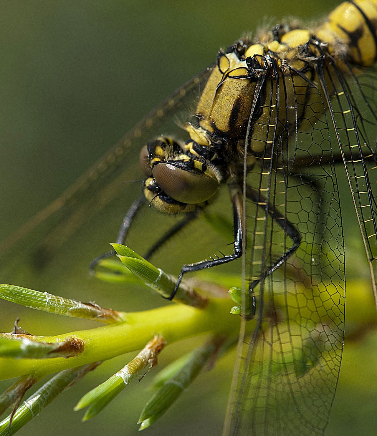 Dragonfly of Latvia Animal Themes Animal Wildlife Animal Wing Animals In The Wild Botanic Close-up Damselfly Dragonflies Dragonfly Enjoying Life Extreme Close-up EyeEm Gallery EyeEm Nature Lover EyeEmNewHere Forest Forest Life Gold Wings Insect Leaf Macro Dragonfly Nature Plant Science