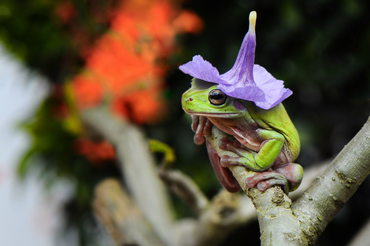 Wizard Frog One Animal Animal Themes Animal No People Outdoors Day Side View Looking Bokeh Contrasts Frog Greenfrog Dumpyfrog Photo Face Hat Flower Hat Funny Concept Idea Potrait Green Color