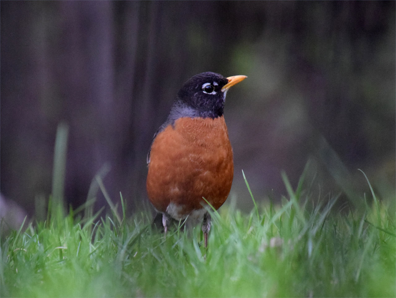 Robin American Robin Beauty In Nature Bird Bird Theme Birds In The Wild Close-up Day Field Grass Nature No People One Bird Outdoors Perching Robin