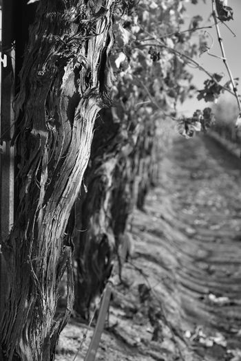 Temecula, Ca. Bark Black And White Close-up Day Focus On Foreground Growth Nature No People Ordered Objets Outdoors Rows Of Things Tree Tree Trunk Vineyard Wine Country Wood - Material